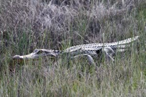 Hunting alligators should be done only after plenty of preparation. An alligator's jaws have a biting force that generates about 3,000 pounds of pressure per square inch.